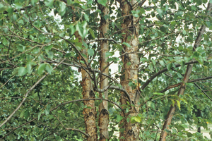 All-season trees: River birch