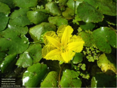 National invasive species awareness week yellow floating heart the flowers of the yellow floating heart plants rise a few inches above the heart mightylinksfo