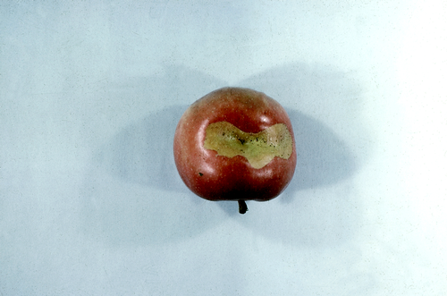 Damaged apples have pronounced deformities.