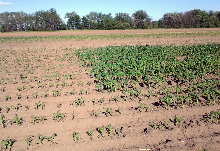 Sweet corn planted on the same day under clear perforated plastic alone (left) and clear perforated plastic plus a spun bonded polypropylene floating row cover (right).