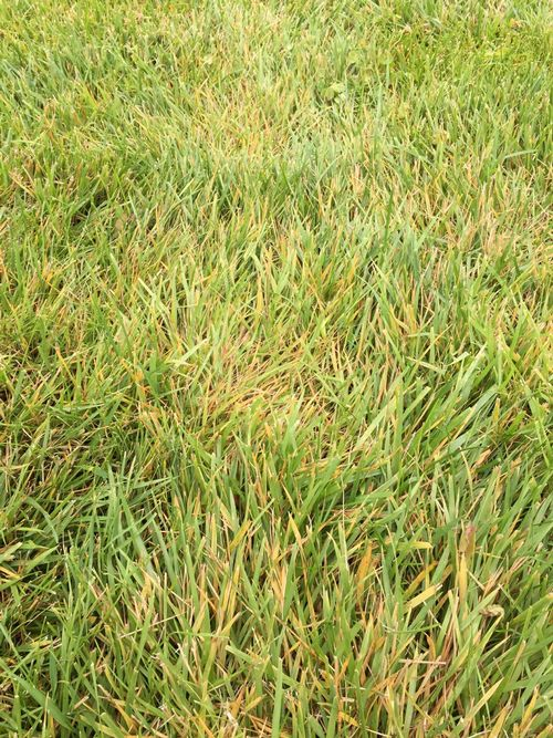 Yellowing of tall fescue due to Rhizoctonia solani. Photo by Kevin Frank, MSU