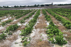 Flooded strawberry field.