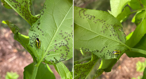 Leaf spot damage from fourlined plant bug a common sight in Michigan gardens