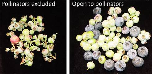 Photo 1. Comparisons of blueberries picked on the same day in July from clusters that had either been bagged to exclude pollinators (left) or were uncovered during bloom (right), allowing bees to visit. Both sets had the same number of blooms during flower