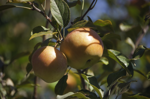 East Michigan apple maturity report – Oct. 14, 2020