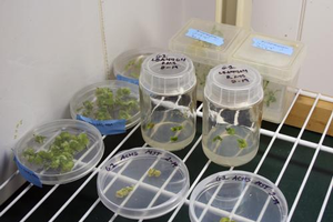 Plants in a Plant Breeding Lab