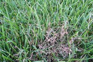 Pinkish-red strands in grass could be red thread