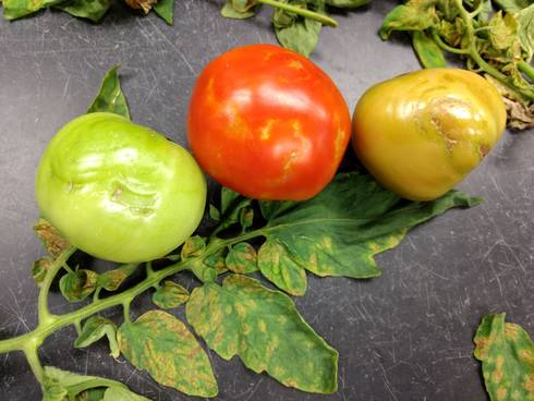 Impatiens necrotic spot virus (INSV) symptoms in tomatoes