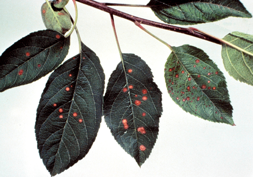 Damage can be confused with injury from the fungicide Captan (shown here).