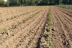 East Michigan vegetable update – June 24, 2020
