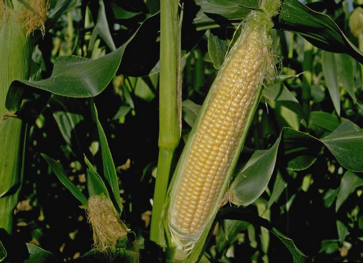 A Primer On Decoding The Sweet Corn Section Of Your Seed Catalog