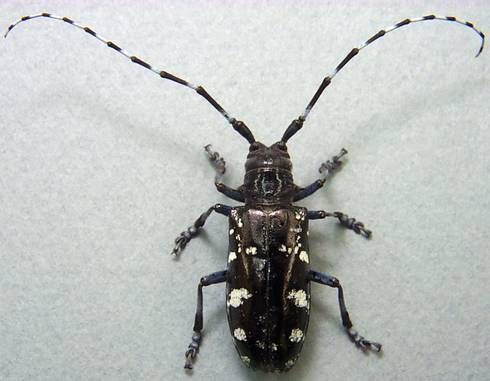Asian longhorned beetle adult. Photo credit: Donald Duerr, USDA Forest Service, Bugwood.org