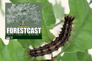 New podcast on forest invaders and the researchers who aim to stop them