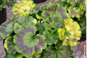 Yellowing on geranium