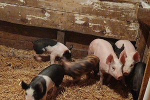 Management over medication: strategies for reducing antibiotics used in pork production