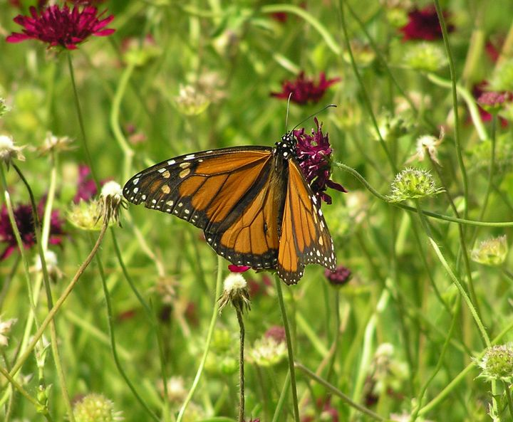 Pollinators are important to ornamental landscapes. Photo credit: Kristin Getter, MSU