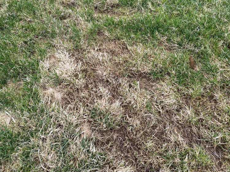 A matted turf area after light raking