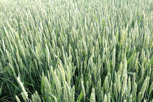 New research on yield response to wheat leaf architecture