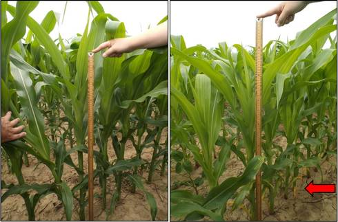 In both pictures, corn at V10 received in-furrow starter N (7 lbs. N A-1). Left: Corn received V4 sidedress (total N=140 lbs. A-1). Right: Corn awaiting V10 sidedress and displays signs of N stress (i.e., lower canopy firing) due to in-furrow strategy.