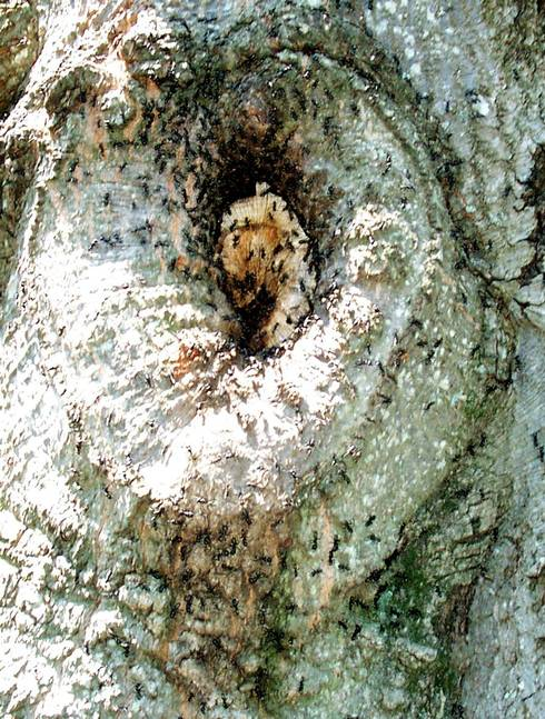 Carpenter ants nesting in trees and homes - MSU Extension