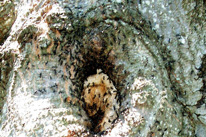 Carpenter ants nesting in trees and homes