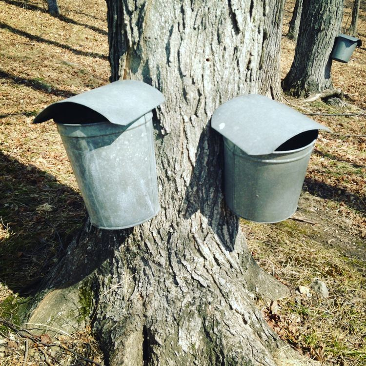 Maple tree being tapped for maple syrup. Photo credit: Mariel Borgman