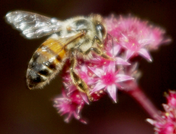 European honey bee on Sedum. Photo by Rebecca Finneran, MSU Extension