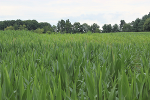 Field Crop Virtual Breakfast to address challenges associated with managing immature corn silage