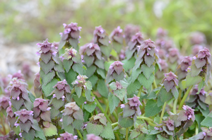 Purple Deadnettle-Lamium purpureum L.