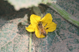 Maximizing honey bee pollination in pickling cucumbers