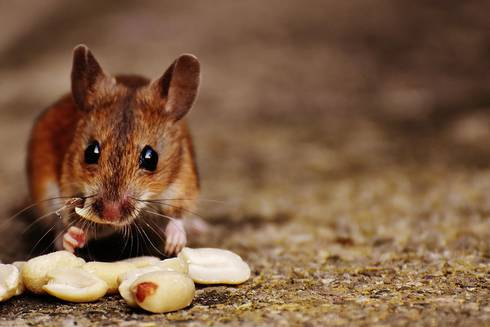 Brown mouse eating shelled peanuts.