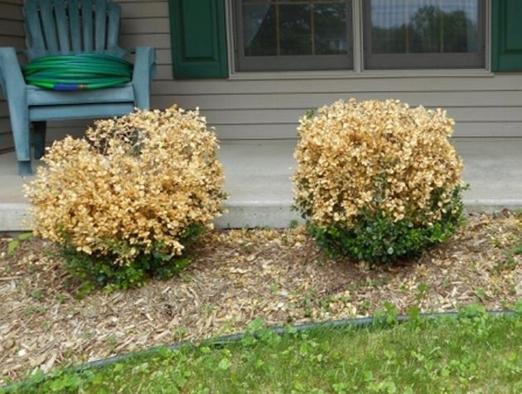 Browning Of Boxwood Is It Boxwood Blight Landscaping