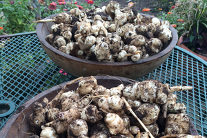 Jerusalem artichokes: Tasty and versatile