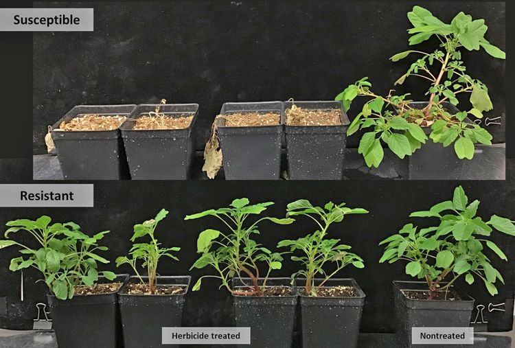 Purple amaranth plants in screening for herbicide resistance