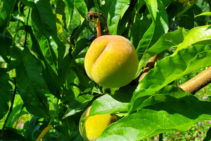 Southwest Michigan fruit update – July 7, 2020