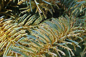 Identifying spruce needle rust