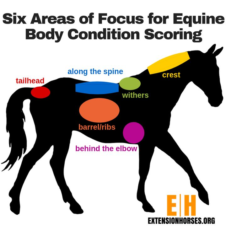 Body Condition Scoring infograph