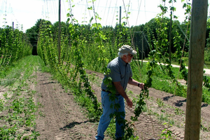 Hop Growers of Michigan partners with MSU for hop IPM demonstrations