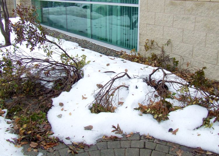 These PJM rhododendrons received crushing blows when snow was shoveled off the roof. Photo credit: Rebecca Finneran, MSU Extension