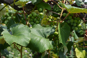 Tackle grape disease with new mechanical leaf removal method