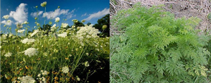 Wild carrot and poison hemlock