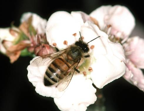 Honey bee on superberry. Photo credit: Jerry A. Payne, USDA ARS, Bugwood.org