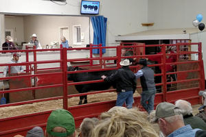 Calf selection takes place at many locations including live auctions.