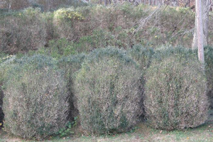 Boxwood blight in the landscape