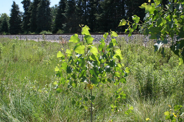 Cottonwood young tree