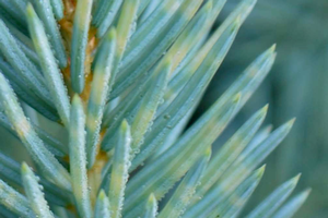 Bands from Weir's cushion rust visible on infected spruce needles