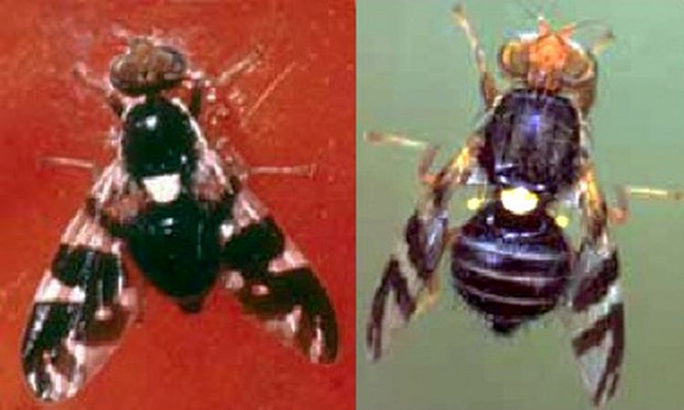 Black cherry fruit fly (left) and cherry fruit fly (right).