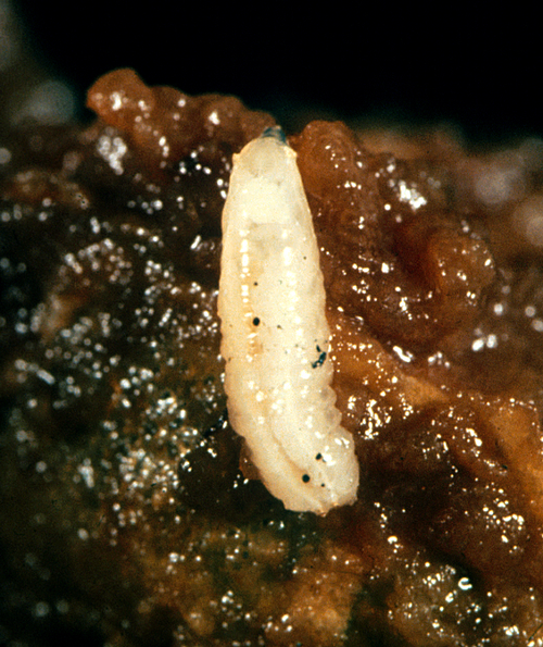 Larva is a milky, white, legless maggot without a distinct head, but with a pointed front tip.