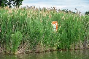 A large dense stand of invasive phragmites is shown along a waters edge.