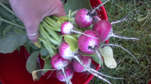 Radishes can actually be pretty rad